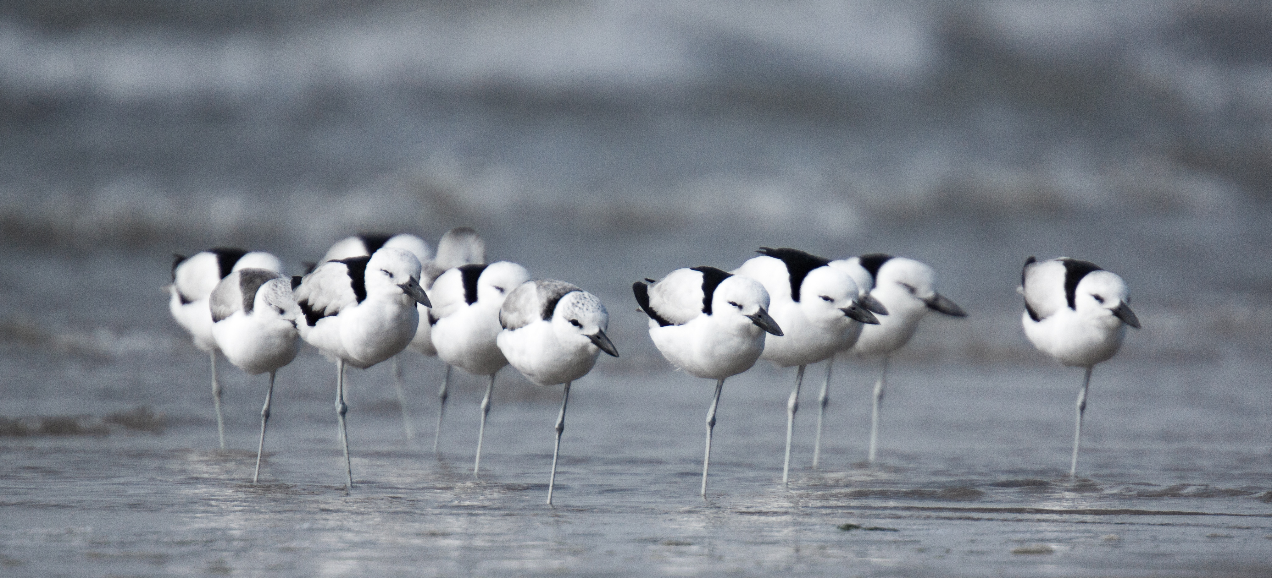 Picture of crab plovers on the beach